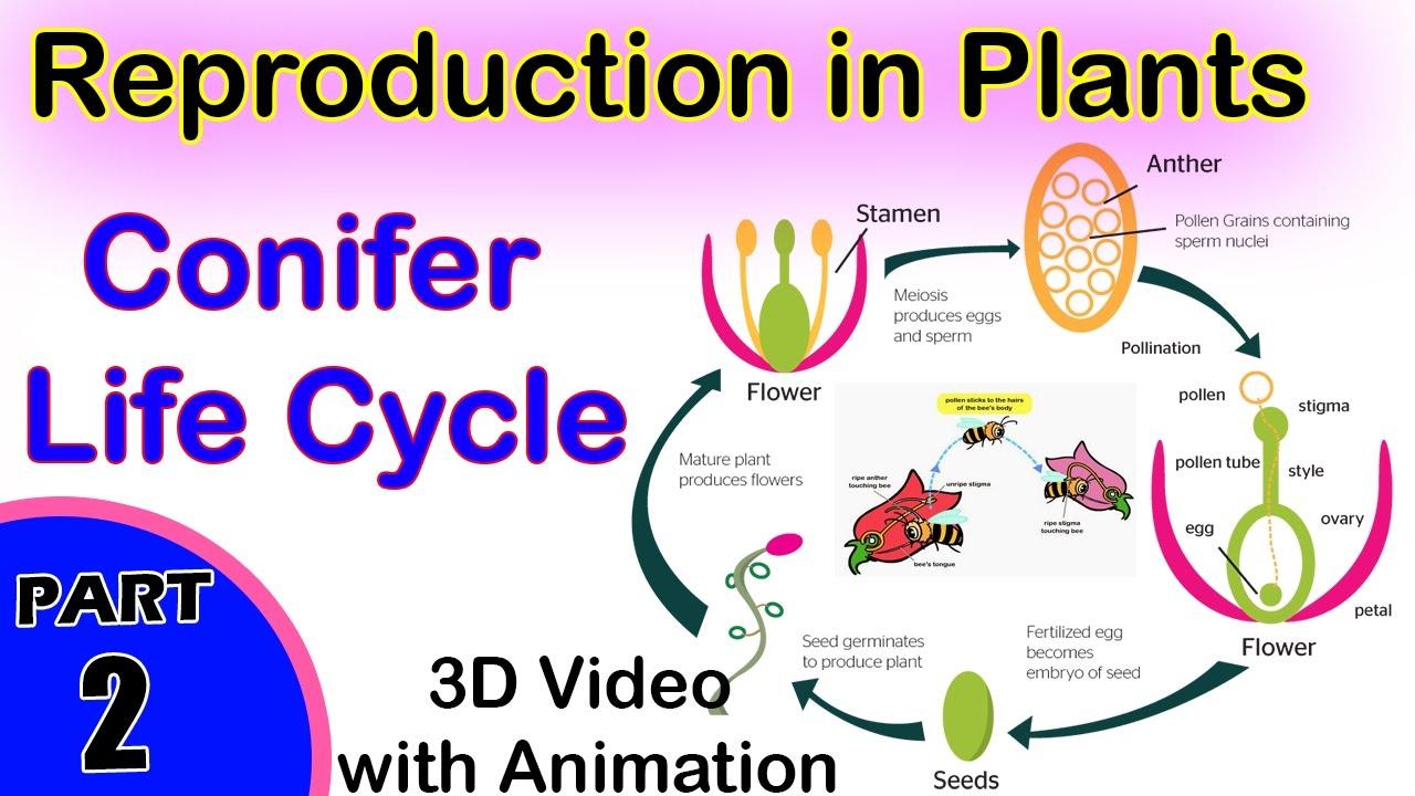 Gymnosperm asexual reproduction video
