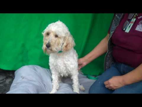 A5021668 Nancy | Miniature Poodle/Wheaten Terrier