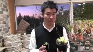 多肉植物 ハオルチア タカラグサの紹介・育て方