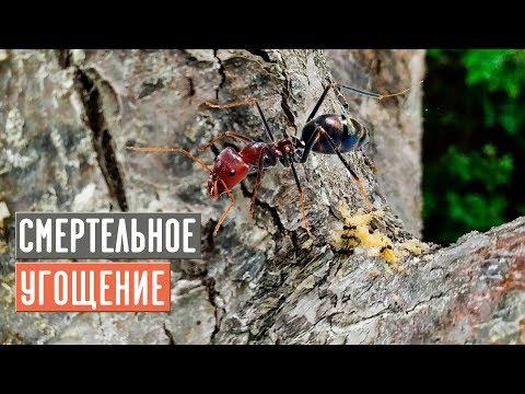 Мощное средство против муравьев 100% результат/ Садовый гид