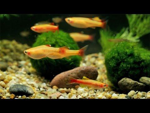 Kardinalfische / Cardinal Minnows