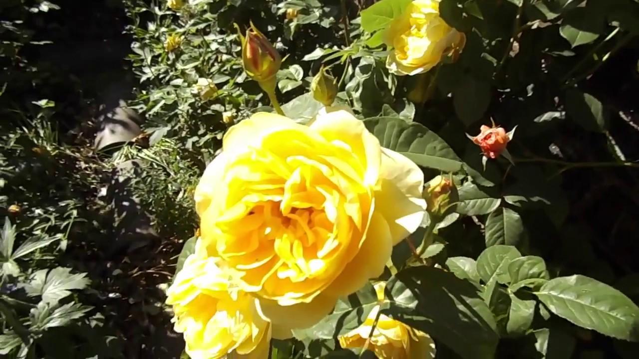 Rose graham thomas ausmas david austin climbing rose youtube rose graham thomas ausmas david austin climbing rose thecheapjerseys Images