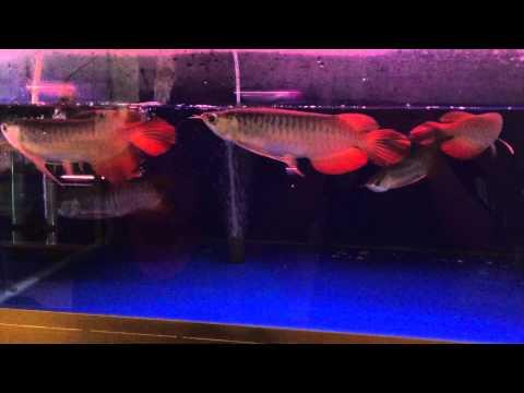 ปลามังกรแดงคัดเกรด จากอินโดนิเซีย