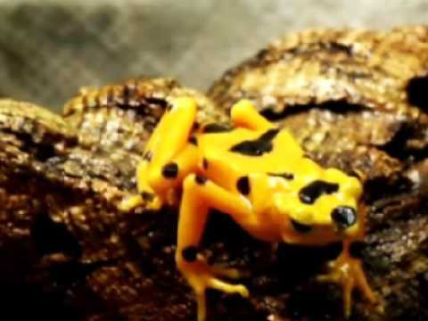 The fungus that kills amphibians