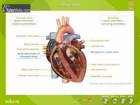 human heart - youtube, Muscles