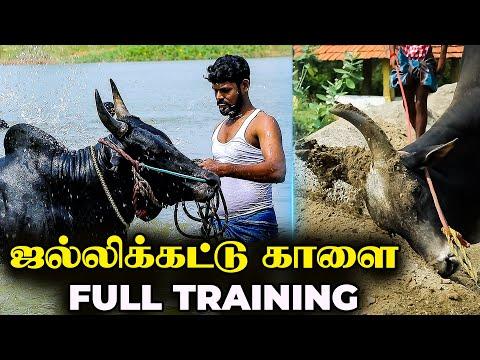 Jallikattu Bull Full Training | ஜல்லிக்கட்டுக்கான வெறித்தன பயிற்சிகள் | Jallikattu Bull Swimming