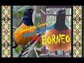 Mb Borneo Gacor Cocok Untuk Masteran  Mp3 - Mp4 Download