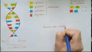 La structure de la molécule d'ADN