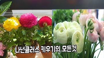 봄꽃으로 인기가 핫한 라넌큘러스 키우기의 모든것 Flower Ranunculus