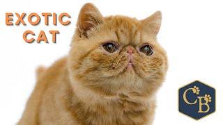 Exotic Cat  The reallife Garfield