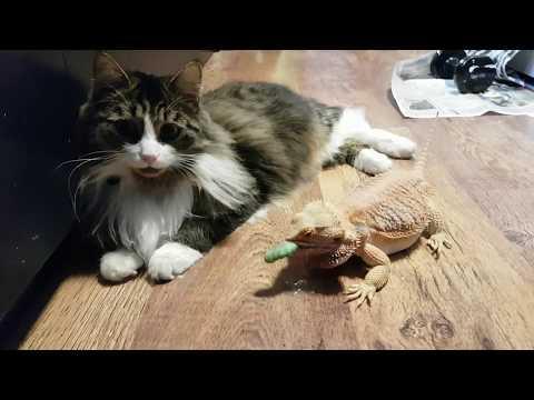 видео: Дракон штурмует котика. Бородатая агама гоняется за гусеницами через полосатое препятствие.