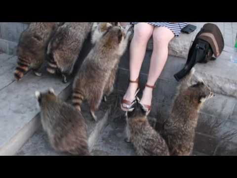 Raccoons Attack a girl trying to Steal a device during  photo shoot, cute animals