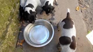 Вода для щенков - День 23 - Уход за щенками день за днем