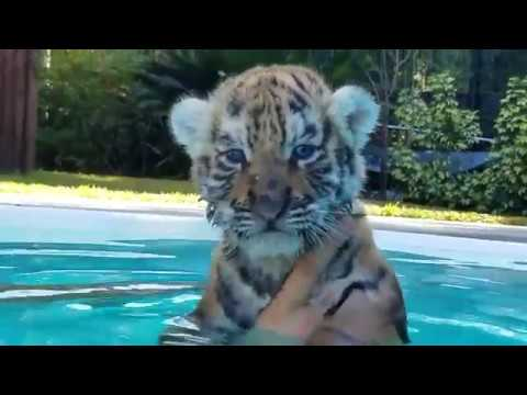Baby Tigers first time in the pool