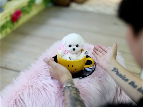 Teacup puppy, cute dog toy poodle ♥please subscribe♥