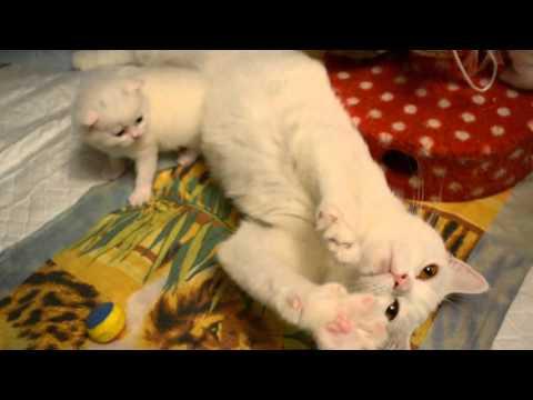 британские котята помет белого и голубого окраса