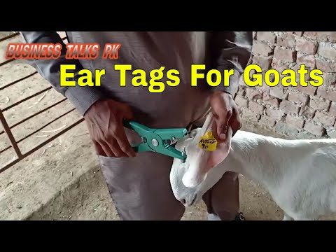 How To Apply Ear Tag Goats | Goat Identification Tags | How To Apply Name Tags On Animals|