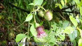 オヤマボクチ(御・雄山火口)  山野草132