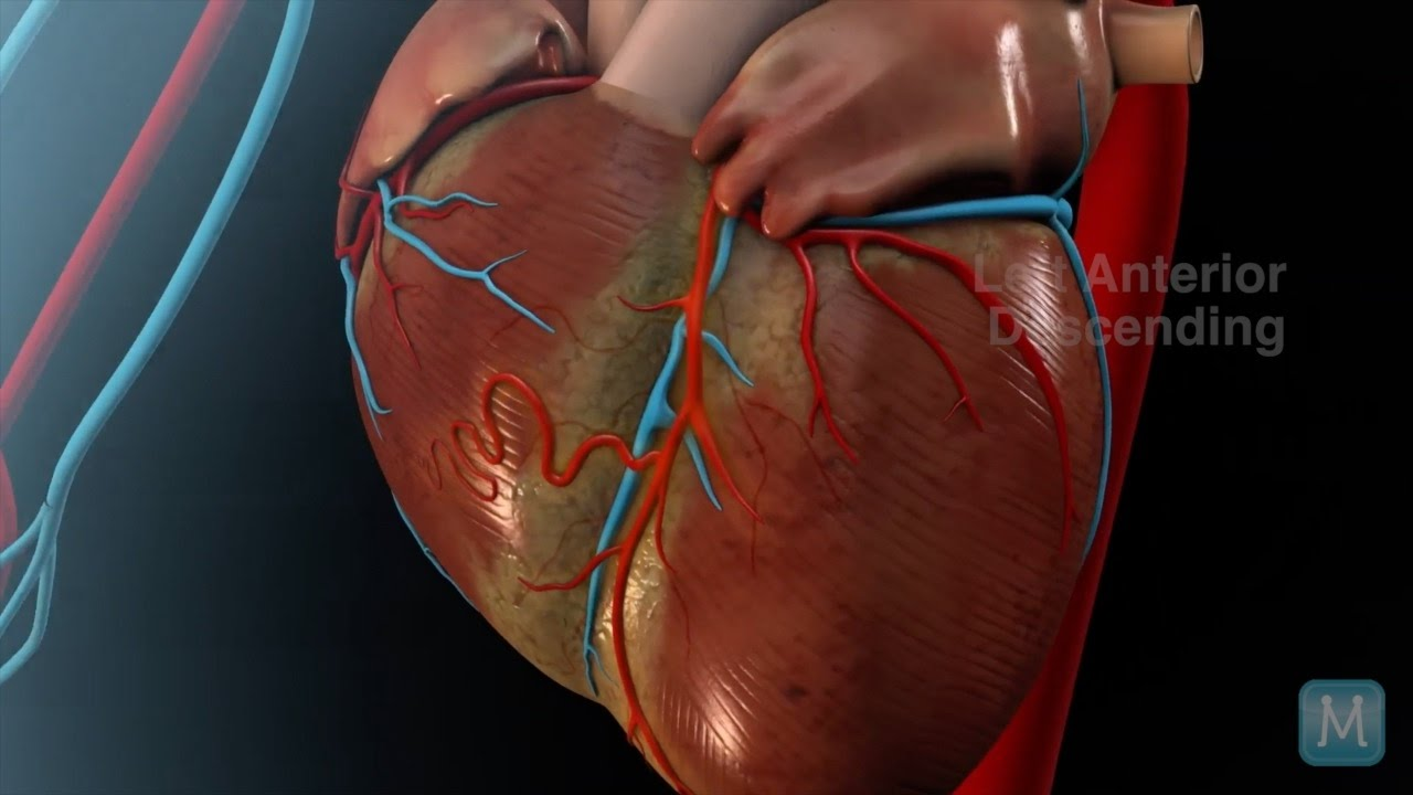 Heart Anatomy: Coronary Arteries | Match Health - YouTube
