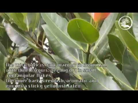 TreeWorld Wholesale - Calophyllum Brasilensis - Brazil Beautyleaf