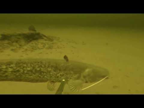 Подводная охота. Злой сом - 'людоед' ))