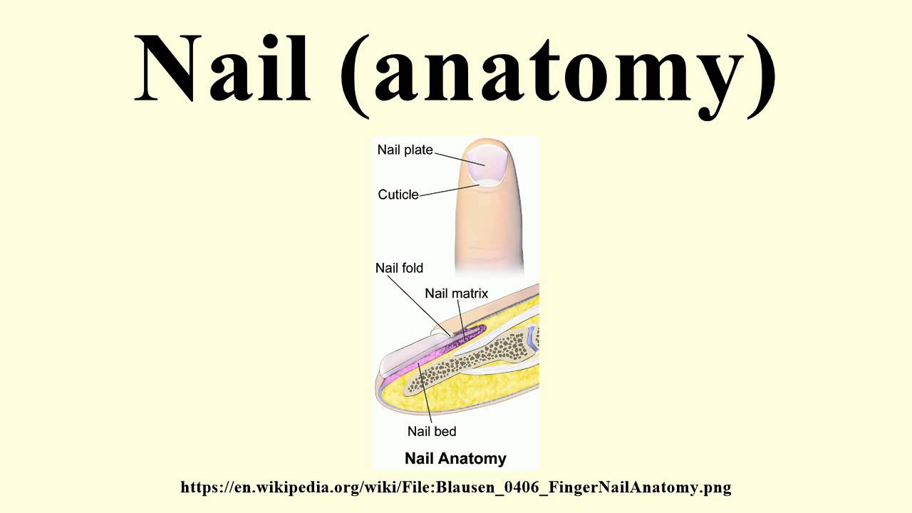 Nail Anatomy Youtube