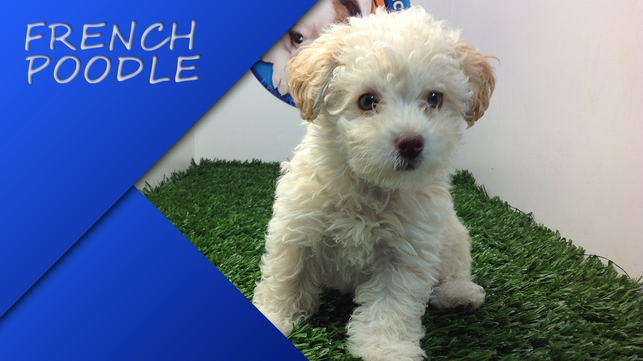 Venta French Poodle Mini Toy Hembra En Cachorrosymascachorros Youtube