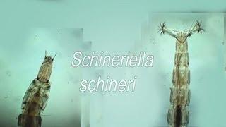Schineriella schineri