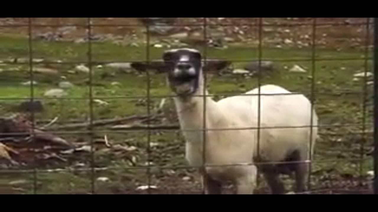 Джастин Бибер крик козла-baby