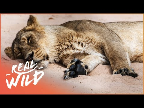 Cheetah and Lion Struggling In The Wild | Predators In Peril | Wild Things Shorts