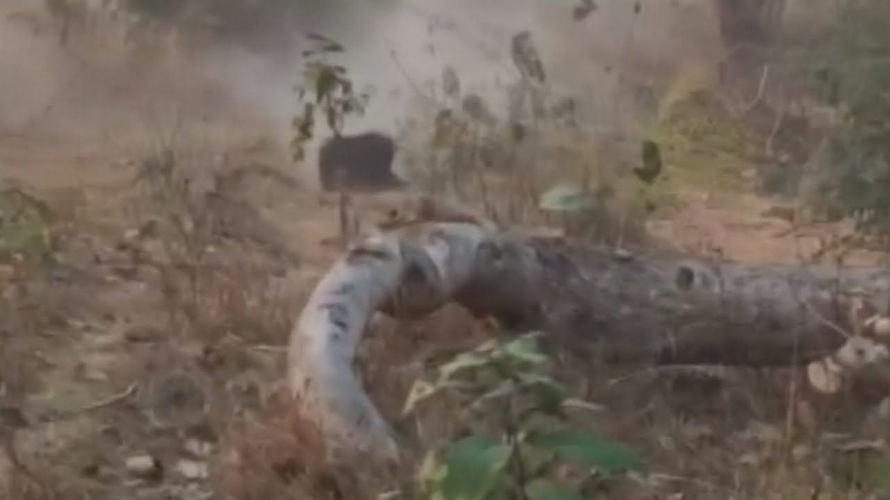 Shocking footage of a bear being shot after killing three people
