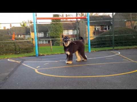 Joe Black - funny afghan hound