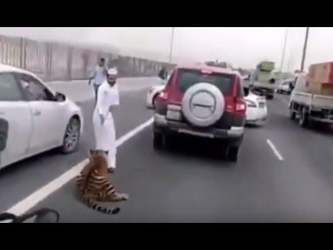 Full story: Tiger on expressway in Doha, Qatar