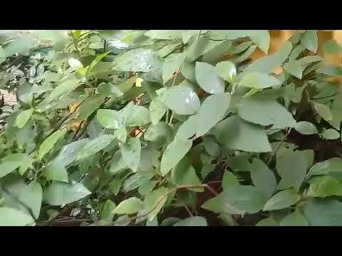Muicle, Hierba De La virgen o Justicia Planta, Beneficios y Propiedades Medicinales.