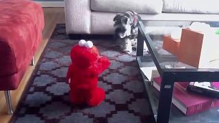 Miniature Schnauzer Vs Tickle Me Elmo