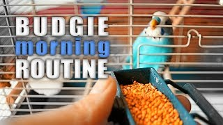 Budgie morning Routine