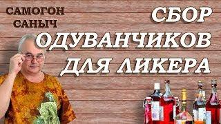 СБОР ОДУВАНЧИКА для домашнего ликера / Самогон Саныч