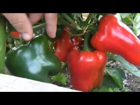 Перец огромный урожай по сортам