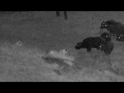 Wild Africa Lions and Buffs at djuma cam 28 march 2018