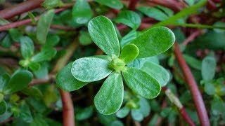 Purslane nutrition and health benefits