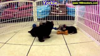 Yorkshire Terrier, Puppies, For, Sale, In, Baltimore, Maryland, Md, Fort Washington, South Laurel, R