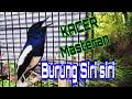 Kacer Suara Burung Siri Siri Cocok Buat Masteran  Mp3 - Mp4 Download