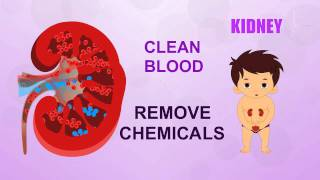 Kidney - Human Body Parts - Pre School - Animated Videos For Kids