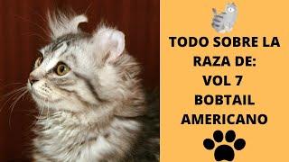 todo sobre la raza devol 7 Bobtail Americano