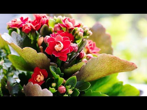 Вторая жизнь Каланхоэ | Омоложение, размножение, уход за растением