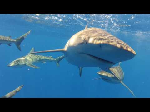 Swim with Sharks North Shore Adventure - Video
