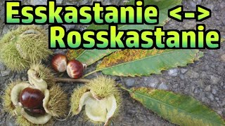 Esskastanie (essbar) vs. Rosskastanie (giftig) #193