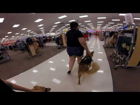 Service Dog Training With Another Service Dog in Training