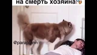 Реакция хаски на смерть хозяина
