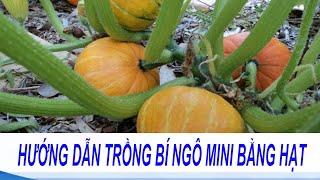 Hướng dẫn cách trồng bí ngô mini cho khu vườn nhỏ nhà phố   Cách trồng bí đỏ trong thùng xốp